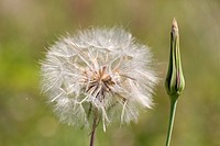Salsify, Tragopogon porrifolius, seed head and bud, UK
