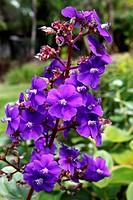 Mauritius island, beauchamp, flower