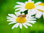 Bee feeding on daisy