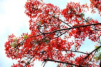 Gul mohur tree delonix regia with Green leaves and red flower, Asia