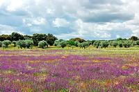Flowers on portuguese field