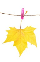 Autumn leaf and clothes peg, isolated on white