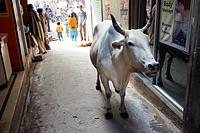 A holy cow in the alleys of Old Varanasi  Uttar Pradesh, India.