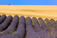 Blooming Lavender Field Lavendula angustifolia Stubble Field