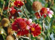 Red sneezeweed blooming in botanical garden