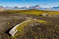 Whale remains in Gashamna (Goose Bay), Hornsund, Spitsbergen Island, Svalbard Archipelago, Norway, Scandinavia, Europe