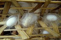 Da Lat; Silk Cocoons; Silk Factory; Close up; Vietnam