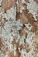 lichen growing on oak