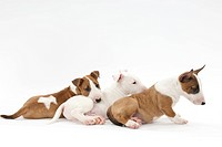 Three puppies lying down