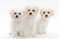 Three sitting puppies