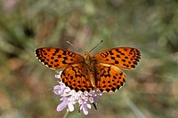 Brenthis daphne, Marbled Fritillary