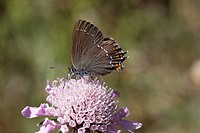Satyrium ilicis, Ilex hairstreak on Scabious bloom
