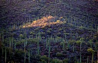 Saguaro National Park, Sonora Desert, Arizona, Tucson, USA.
