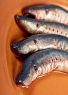 Fresh fish lamprey