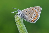 Common Blue (Polyommatus icarus) butterfly.