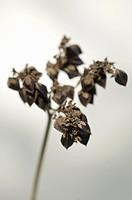 Mature buckwheat