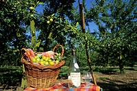 basket and bottle of mirabelle brandy, cherry-plum tree orchard, Roselieures, Moselle department, Lorraine region, France, Europe