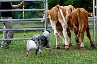 Australian Shepherd herding cattle