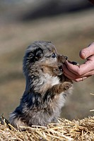 Australian Shepherd. Puppy sitting on straw while eating from a hand