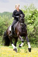 Friesian Horse. Gelding Nillis with rider galopping on a flowering meadow