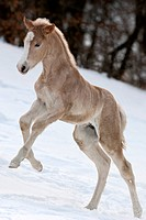 Haflinger Horse. Foal bucking on a snowy meadow