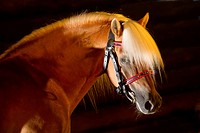 Haflinger Horse. Portrait of the stallion Atlas with halter seen against a black background