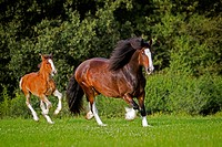 Shire Horse. Mare with foal trotting on a meadow