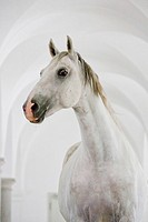 Lipizzan Horse. Stallion Bonavoia standing in a ballroom-hall in Schloss Hof, one the biggest baroque palaces in Europe. Austria