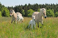 Norwegian Fjord Horse. Two mares with their foals galloping on a meadow