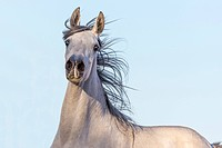 Purebred Arabian Horse. Young grey mare, portrait