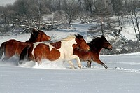 Hucul Pony, Carpathian Pony, Huzul. Three horses galopping on a snowy meadow