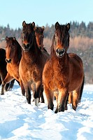 Hucul Pony, Carpathian Pony, Huzul. Herd standing on a snowy meadow