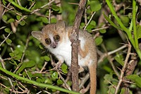 Gray-brown Mouse Lemur (Microcebus griseorufus) in a tree. Berenty Private Reserve, Madagascar
