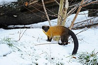 Yellow-throated Marten (Martes flavigula). Adult standing in snow