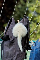 White Ferret (Mustela putorius furo) investigating trousers on a washing line
