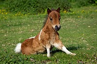 Miniature Shetland Pony. Pinto foal lying on a meadow, starting to stand up