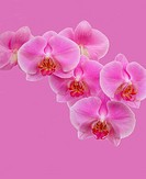 Close-up of spray of pink phalaenopsis orchid flowers on a pink background.