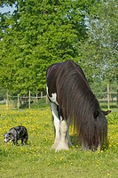 Australian Shepherd Mix and Shire Horse on a flowering meadow