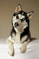 Siberian Husky. Portrait of adult with eyes of different colour