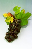 DEU, 2000: Blue Grapes (Vitis vinifera).