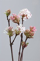 DEU, 2010: Goose (Viburnum x bodnantense Dawn), flowering twigs. Studio picture against a white background.