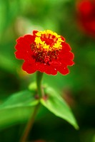 DEU, 2002: Zinnia (Zinnia spec.), flower.