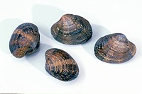 DEU, 2004: Warty Venus (Venus verrucosa), four whole mussels, studio picture.