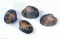 DEU, 2004: Warty Venus (Venus verrucosa), four whole mussels, studio picture.