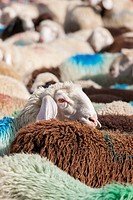 Transhumance - the great sheep trek across the main alpine crest in the Otztal Alps between South Tyrol, Italy, and North Tyrol, Austria. This very sp...