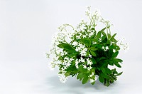 DEU, 2007: Sweet Woodruff (Galium odoratum), flowering, studio picture.