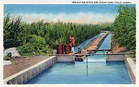 HAWAII: SUGAR CANE FIELD. An irrigation ditch in a sugar cane field in Hawaii. Postcard, American, 1935.