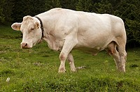 Cow of a dual-purpose breed for milk and meat production
