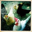 Chickens walking in barnyard