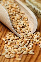 Wheat grain / (Triticum aestivum)